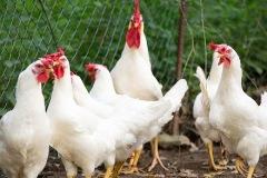 pollo-vald